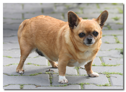 http://www.chihuahuawardrobe.com/wp-content/uploads/2013/01/obese-chihuahua.jpg